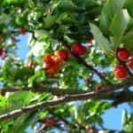 Výživa a hnojení ovocných stromů